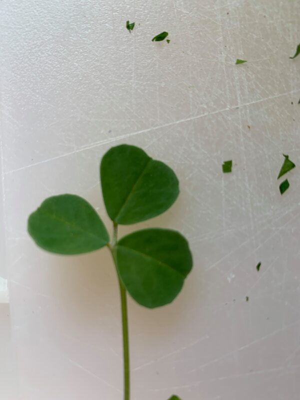 A 3 leaf clover turned up in my parsley!